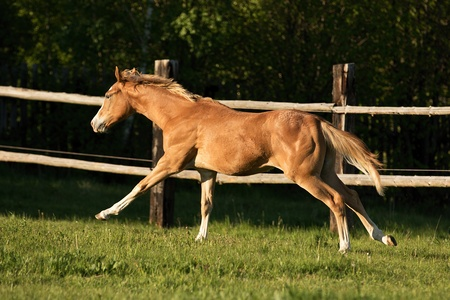 quater: Appaloosa foal playing on the meadow