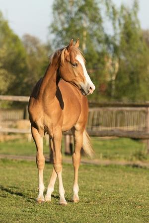 appaloosa: Appaloosa foal standing on the meadow