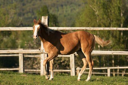 appaloosa: Appaloosa foal playin on the meadow