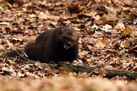 wolverine: Siberian wolverine grin Stock Photo