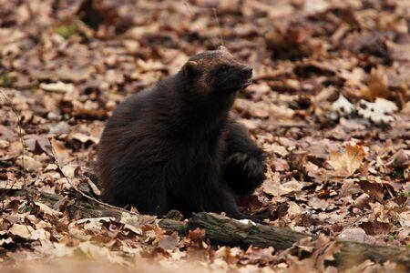 wolverine: Siberian wolverine brushing fur