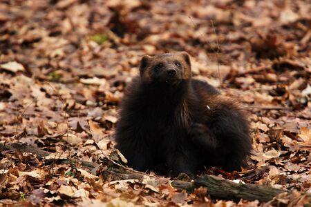 wolverine: Siberian Wolverine sitting on the ground with tree blades
