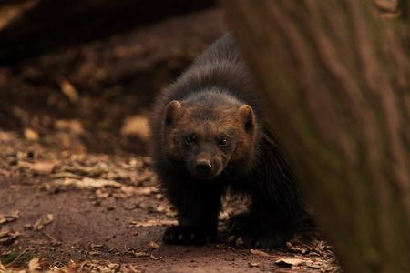 wolverine: Siberian Wolverine hiding behind tree