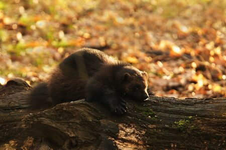 wolverine: Siberian Wolverine playing on the branch Stock Photo