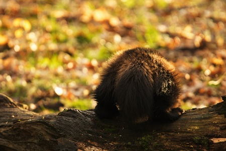 wolverine: Siberian Wolverine showing tail Stock Photo