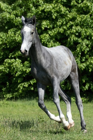 gray horse: Galloping young gray horse on the meadow