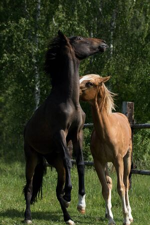 dominance: Young horses dominance play
