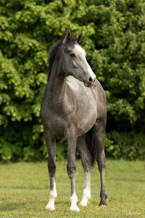 Young gray foal on the meadow Stock Photo