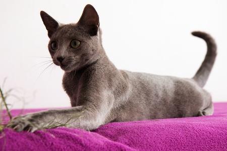 cola mujer: Gato azul ruso