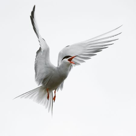 The Common Tern is a seabird of the tern family Sternidae. This bird has a circumpolar distribution breeding in temperate and sub-Arctic regions of Europe, Asia and America. / Stock Photo - 7583704