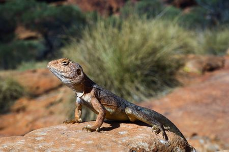 simpson: Military dragon - Ctenophorus, also known as Comb-bearing Dragons, is a genus that contains the most diverse group of dragons in Australia. Many of these have been grouped by a similar morphology. The informal names and groupings within this genus � Roc