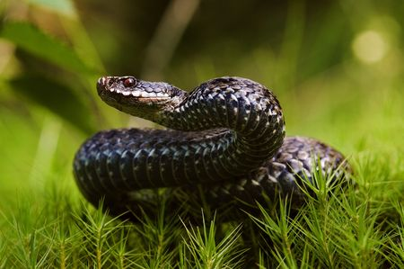 viper: Viper before attack. Vipera berus, the common European adder or common European viper, is a venomous viper species that is extremely widespread and can be found throughout most of Western Europe.