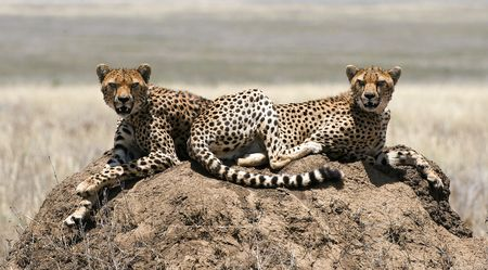 tanzania: The cheetah (Acinonyx jubatus) is an atypical member of the cat family (Felidae) that is unique in its speed, while lacking strong climbing abilities.  Stock Photo
