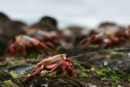 spat: Sniper. The scientific name of these crabs is Grapsus Grapsus and the common name is Sally Lightfoot Crabs .