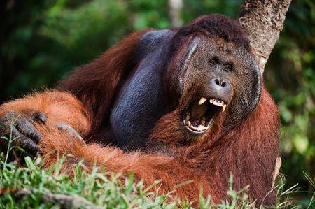 Indonesia, Borneo - Yawning Orangutan sitting on a tree photo