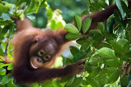 poblacion: Indonesia, Borneo - orangután de Young, sentado en el árbol de la