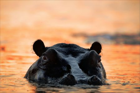 The hippopotamus in the light of the sunset sun sits in a bog. photo