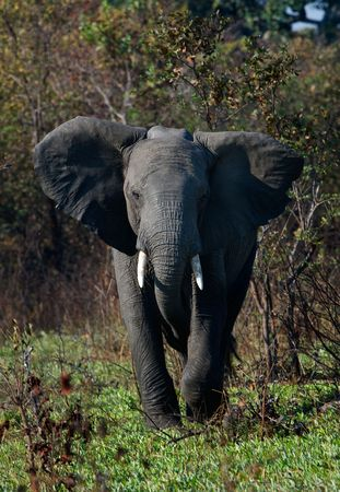 elephant angry: The annoyed elephant, looking blank, runs directly on us.
