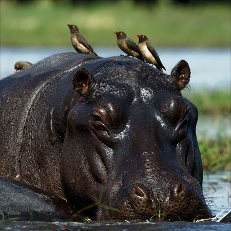 Passengers. The hippopotamus sits in a bog and on his back birds were attached. photo