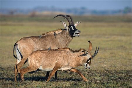 Marriage games of antelope Roan. Birdies participate.The Roan Antelope.  photo