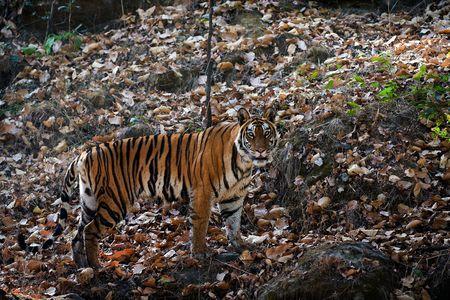 tigresa: La Tigresa cuesta en piedras y busca rapaciously en una lente.