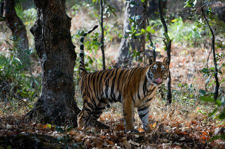 tigress: The tigress marks the territory splashing on a tree. Stock Photo