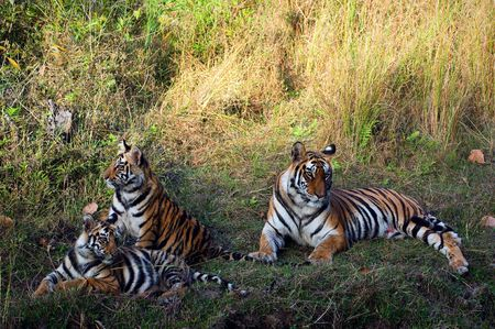 Tigress and cub.  The tigress has a rest on a grass. Near to her play cats. photo