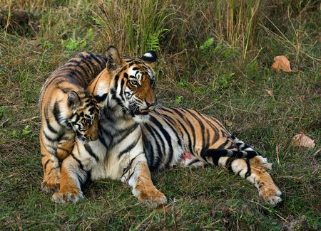 The wounded tigress becomes angry about the annoying kid. photo