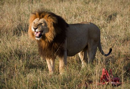 Lions grin.  It is left becomes angry that him distract from a meal. photo