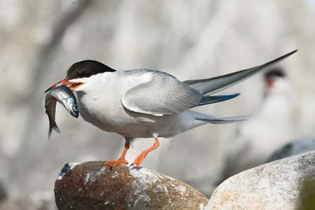 confrontational: The Common Tern (Sterna hirundo) is a seabird of the tern family Sternidae.