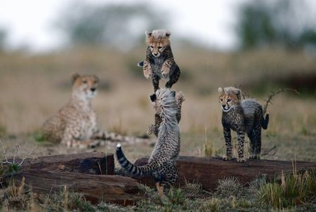 Small kittens of a cheetah play leapfrog on supervision of mum. photo