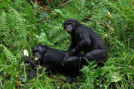 Bonobo love.  Democratic republic Congo. photo