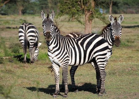 Two zebras stand one for another, as one with two heads. A green background. photo
