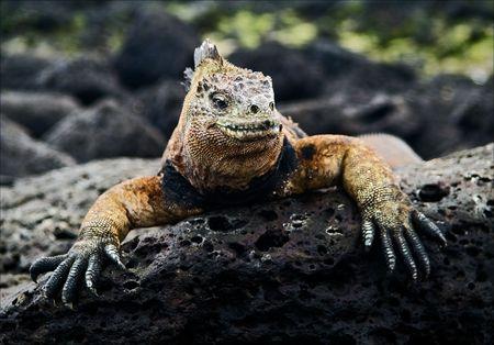 The marine  iguana poses on the black stiffened lava.  photo