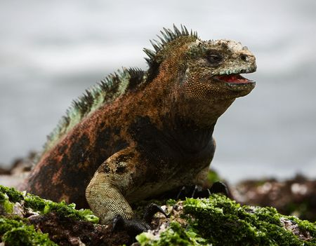 species: The marine  iguana poses.3  The sea iguana, having opened a mouth, poses on stones with seaweed.  Stock Photo