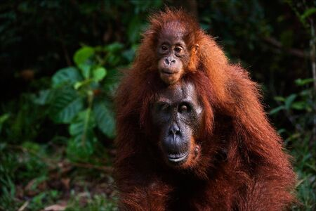 seized: On a back at mum. A small cub, strong having seized, the orangutan goes on a back at mum. Stock Photo