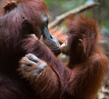 funny love:  Kissing mum. The kid the orangutan gently kisses the mother.