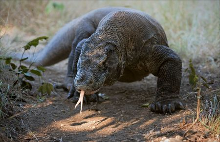 coldblooded: Komodo dragon. Komodo dragon slow gait comes, all coming nearer. Stock Photo