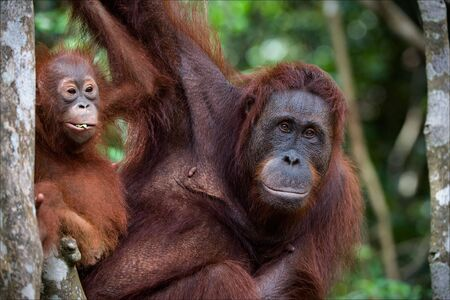largely: Portrait of largely mum-orangutan with a cub against green leaves.