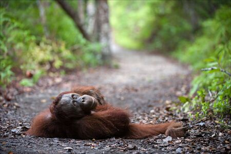 interrogatively: The young male of the orangutan is impressive lies on wood road leaving afar and interrogatively looks. Stock Photo