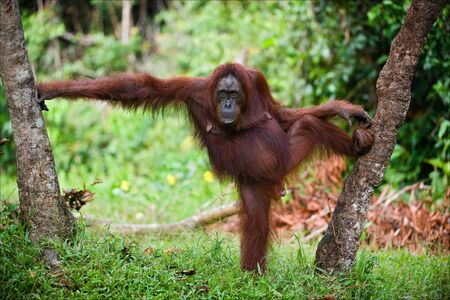 The female of the orangutan poses, having accepted a pose between trees. A green background of wood. photo