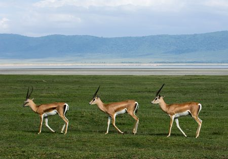 synchronously: Three gazelles of the grandee synchronously go on a green grass against a mountain landscape.