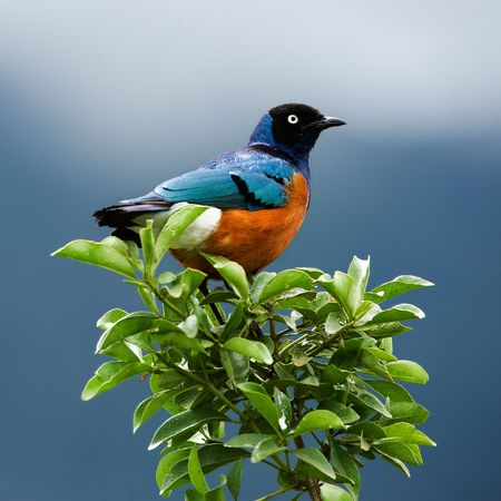 SUPERB STARLING.The orange-blue bird sits on a green branch on brightly dark blue background.  photo