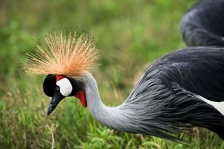 The beautiful crowned crane bends down and ?????? brightly green grass. A crowned crane. photo