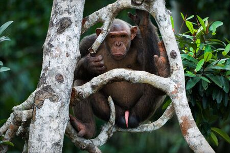 Chimpanzee on a tree. The wild male of a chimpanzee sits on branches of a tree and attentively looks. On a background greens of jungle. Stock Photo - 7659120