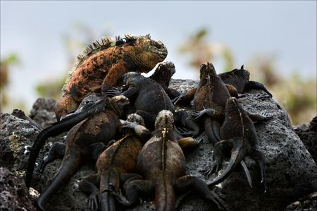 settled: The male with a harem. On dark stones of a lava has settled down to bask in the sun group of sea iguanas.