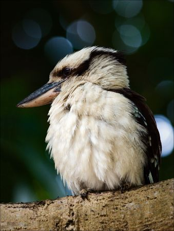 crone: The kookaburra sits on a branch in a tree crone. Against green foliage. Stock Photo