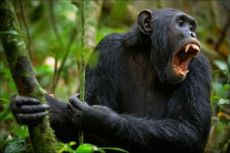 Crier. Un chimpanz�, assis dans un fourr� de bois vert, crie haut et fort avec anxi�t�.