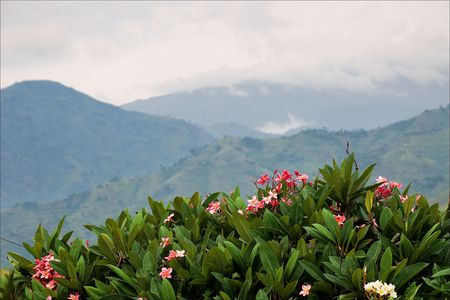 Mountains of wood Bwindi. Behind a juicy green bush with red colors the kind on mountains hidden by a fog and clouds opens. photo