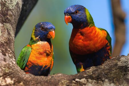 The Rainbow Lorikeet, Trichoglossus haematodus is a species of Australasian parrot found in Australia, eastern Indonesia (Maluku and Western New Guinea), Papua New Guinea, New Caledonia, Solomon Islands and Vanuatu. photo